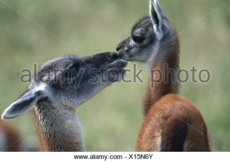 guanaco (Lama guanicoe), mother with foal, Chile, Torres del Paine National Park - Stock Photo