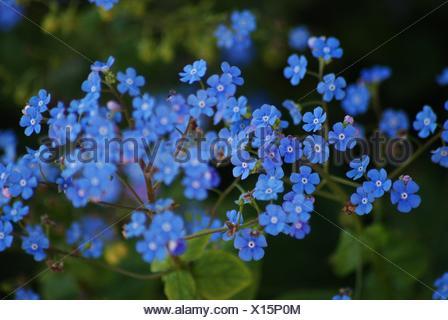 Myosotis sylvatica - beautiful blue wildflower - Stock Photo
