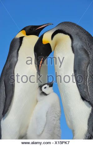 Emperor penguin (Aptenodytes forsteri), chick between two adults, parents looking at their chick, Antarctica, Snow Hill Island - Stock Photo