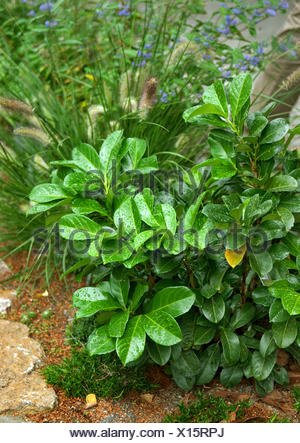 cherry-laurel (Prunus laurocerasus 'Rotundifolia', Prunus laurocerasus Rotundifolia), cultivar Rotundifolia - Stock Photo