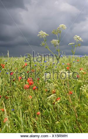 Corn field with Corn Poppies (Papaver rhoeas) and Cornflowers (Centaurea cyanus) during a thunderstorm - Stock Photo
