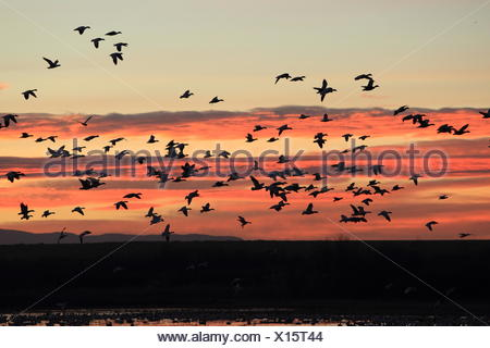 snow geese at sunrise - Stock Photo
