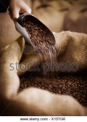 Hand scooping coffee beans in burlap sack - Stock Photo