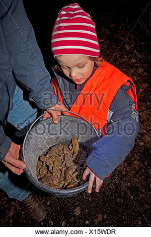 European common toad (Bufo bufo), girl looking into a bucket full of collected toads which will be carried over a road during a nightly toad migration, Germany, North Rhine-Westphalia