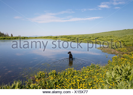 A black labrador dog paddling in lake water. - Stock Photo