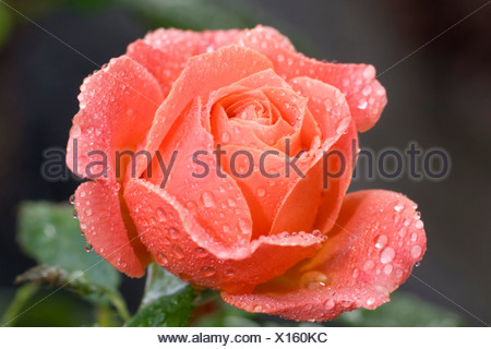 Red rose with waterdrops - Stock Photo