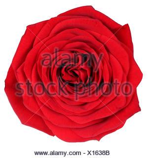 Blüte rote Rose Freisteller - Stock Photo