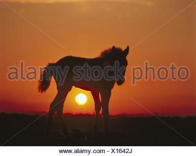 Silhouette, New Forest pony, foal, sundown animal, animals, mammals, mammal, uncloven-hoofed animal, Equidae, benefit animals, benefit animal, horse, horses, pony, ponies, young animal, riding animal, riding animals, whole bodies, preview, evening heaven, - Stock Photo
