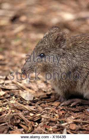 Long nosed Potoroo, adult portrait, South Australia, Australia / (Potorous tridactylus) - Stock Photo
