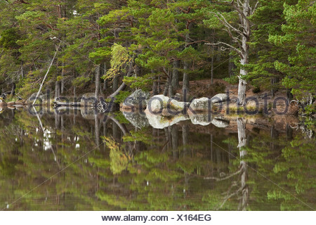 Caledonian Pine Forest reflected in the still water of Loch Garten, Cairngorms National Park, Scottish Highlands, Uk - Stock Photo