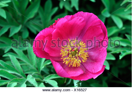 Low Peony (Paeonia officinalis subspecies microcarpa), Southern Europe - Stock Photo
