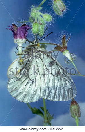 clouded apollo, black apollo (Parnassius mnemosyne), on inflorescence, Germany - Stock Photo