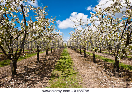 Apple trees in blossom in orchard - Stock Photo