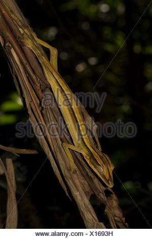 Mossy leaf-tailed gecko (Uroplatus lineatus), female, camouflaged, Marojejy National Park rainforest, northeast Madagascar - Stock Photo