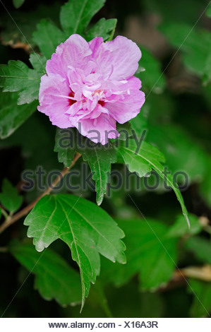 Rose of Sharon, Shrub Althea or Rose Althea (Hibiscus syriacus), flowering, native to Asia, garden plant - Stock Photo