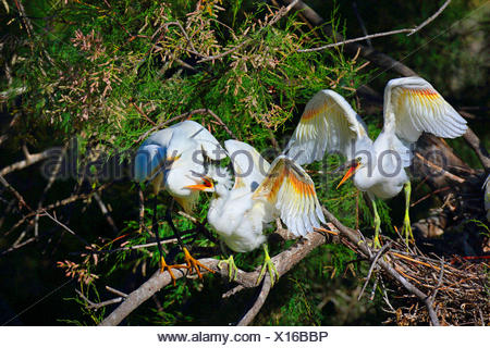 little egret (Egretta garzetta), juvenile birds calling for food, standing in a tamarisk, France, Camargue - Stock Photo
