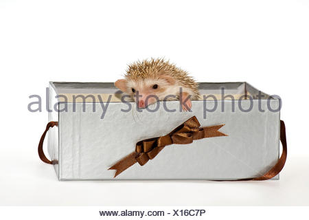 Two Four-toed Hedgehogs or African Pygmy Hedgehogs (Atelerix albiventris), looking out of a gift box - Stock Photo
