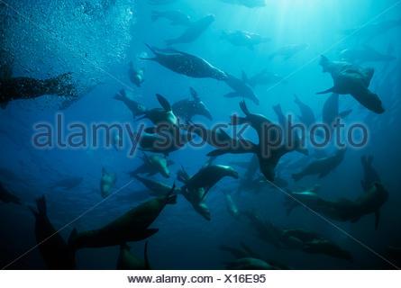 Large group of Californian sealions (Zalophus californianus) swimming and playing underwater, Anacapa Island, California, Pacific Ocean - Stock Photo