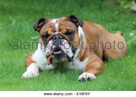 English bulldog, Canis lupus familiaris - Stock Photo