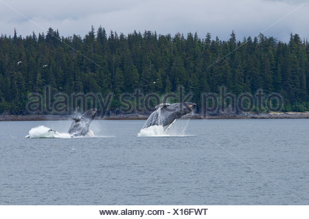 COMPOSITE: Two Humpback whales breach in Chatham Strait near Chichagof Island, Tongass National Forest, Southeast Alaska, Summer - Stock Photo