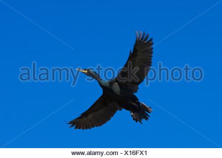 shag (Phalacrocorax aristotelis), flying, Germany - Stock Photo