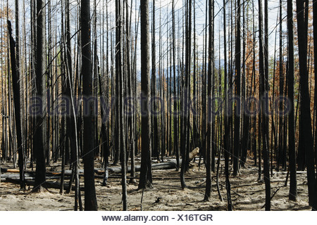 Fire damaged trees and forest (from the 2012 Table Mountain Fire), Okanogan-Wenatchee NF, near Blewett Pass - Stock Photo