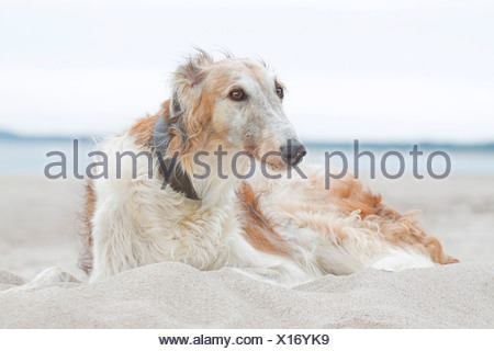 Barzoi. Adult dog lying in sand - Stock Photo