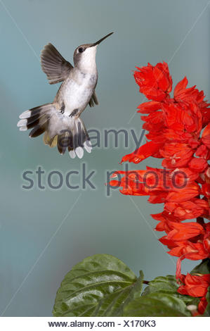 Ruby-throated Hummingbird Archilochus colubris Female At Salvia Salvia coccinea ´Scarlet Sage´ - Stock Photo