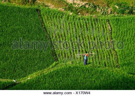 Members of the Miao minority at work in the rice terraces of Xijiang, Guizhou, South China, China, Asia - Stock Photo