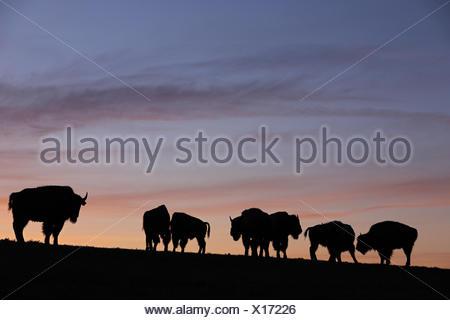 Amerikanischer Bison, (Bison bison), Baden-Wuerttemberg, Deutschland - Stock Photo