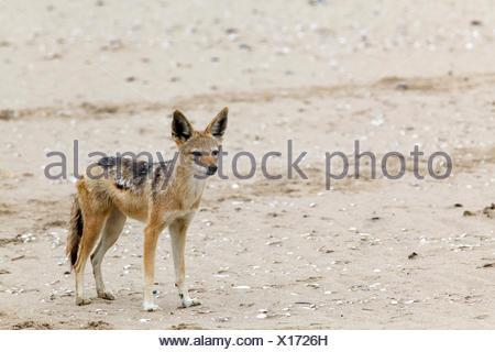 Black-backed jackal (Canis mesomelas), Walvis Bay, Namibia - Stock Photo