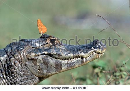 Paraguayan caiman (Caiman yacare), with butterfly, Dryas julia, Brazil, Pantanal - Stock Photo