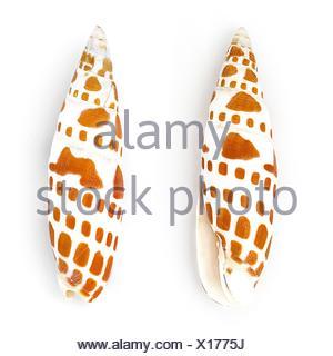 Episcopal miter shell (Mitra Mitra) isolated on white background. - Stock Photo