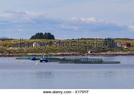 Atlantic salmon, ouananiche, lake Atlantic salmon, landlocked salmon, Sebago salmon (Salmo salar), salmonid farm in a fjord, Norway, Hitra - Stock Photo