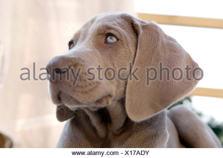 Extreme close-up of Weimaraner looking away - Stock Photo