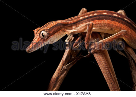Lined Leaf-tailed Gecko showing darker nocturanal colouration, camouflaged amongst dead palm fronds, Madagascar - Stock Photo