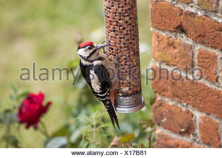 Greater Spotted Woodpecker on Nut Feeder - Stock Photo