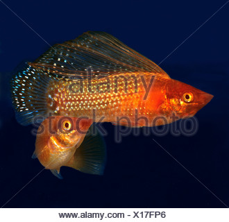 Yucatan Molly (Poecilia velifera). Two individuals in an aquarium - Stock Photo