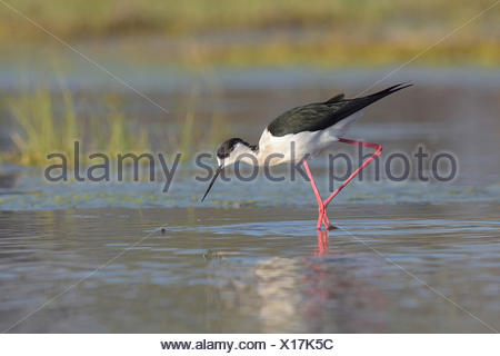 black-winged stilt (Himantopus himantopus), searching food in shallow water, side view, Austria, Burgenland, Neusiedler See National Park - Stock Photo