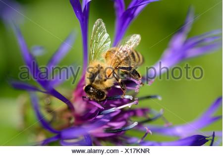 Carnolian honey bee (Apis mellifera var carnica), on blue flower of mountain knapweed or cornflower (Centaurea montana L.) - Stock Photo