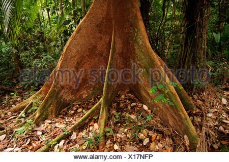 fig (Ficus spec.), buttress roots, Malaysia, Borneo, Gunung Kinabalu - Stock Photo