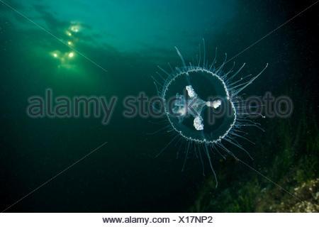 Freshwater Jellyfish, Craspedacusta sowerbii, Lake Lugano, Switzerland - Stock Photo