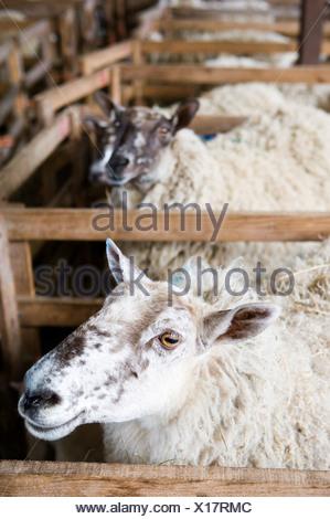 Ewe Sheep standing in pens in a barn during lambing season - Stock Photo