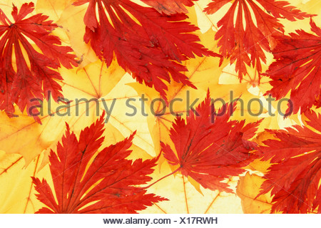 Norway Maple and Japanese Maple, autumn leaves (Acer platanoides), (Acer japonicum) - Stock Photo