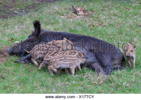Wild Boar (Sus scrofa). Sow suckling piglets. Germany - Stock Photo