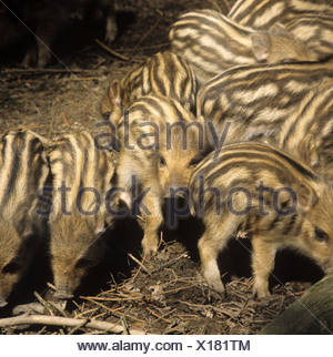 Wild Boar piglets collecting together in dappled woodland shade Devon - Stock Photo