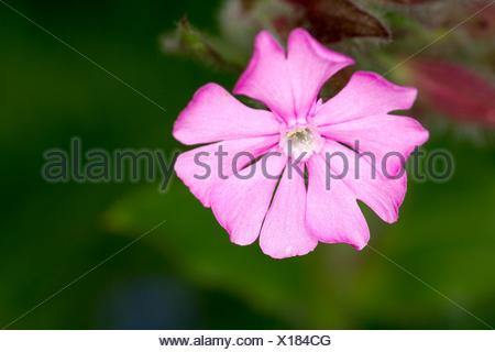 Alpine Red Campion, Silene dioica, Alps, France - Stock Photo