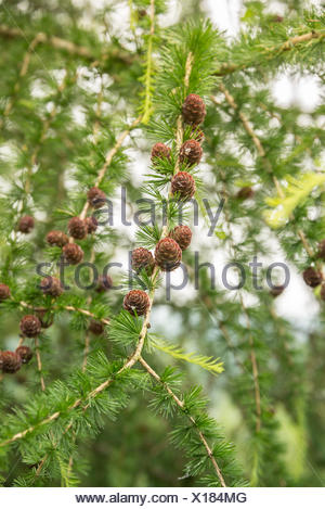 Larch tree with pine cones in the summer - Stock Photo