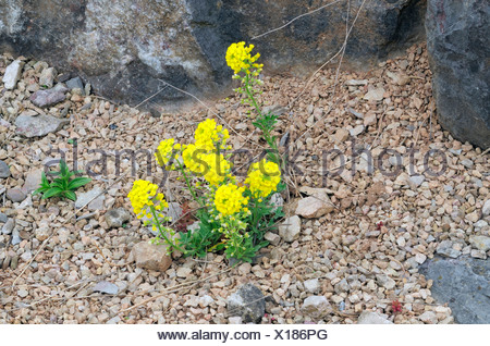 Mountain Madwort (Alyssum montanum) growing on a rock, alpine plants - Stock Photo