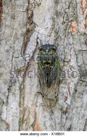 Dog-day Cicada (Neotibicen canicularis) on Silver Maple tree (Acer saccharinum), Toronto, Ontario, Canada - Stock Photo